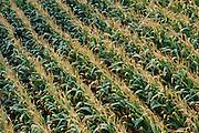 Aerial of a mature cornfield.