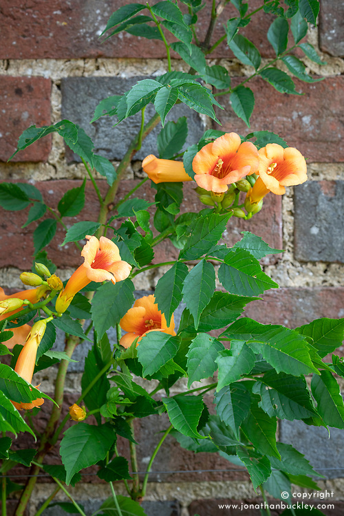 Campsis radicans  syn. Bignonia radicans - Trumpet vine, Trumpet honeysuckle, Virginian trumpet flower