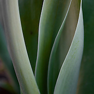 I'm never pulled to shoot tulips, but I love the curves of the leaves and stem.