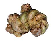 Slipper Limpet - Crepidula fornicata