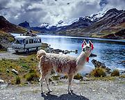 Colored tassels on a friendly llama mark ownership as it grazes on communally managed land at Lake Surasaca (14,435 feet elevation), Cordillera Raura, Peru, at the end of our Huayhuash trek.