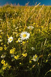 Oxeye Daisy (Leucanthemum vulgare or Chrysanthemum leucanthemum) and Birdsfoot Trefoil (Lotus corniculatus). Mt. St. Helens National Volcanic Monument, Washington, US