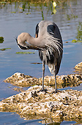 Great Blue Heron, Ardea herodias, preening feathers on riverbank in the Everglades, Florida, USA