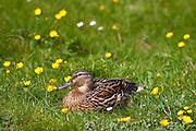Female mallard duck in meadow, The Cotswolds, Oxfordshire, UK