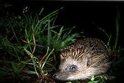 Der Braunbrustigel (Erinaceus europaeus), auch Westeuropäischer Igel oder Westigel genannt, ist ein Säugetier aus der Familie der Igel (Erinaceidae)   The West European Hedgehog (Erinaceus europaeus), or simply the European hedgehog, is a hedgehog species found throughout the Palaearctic region, except in the Himalayas and North Africa