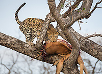 Leopard, Panthera pardus, pulling its kill, an impala, Aepyceros melampus,  up into a tree.