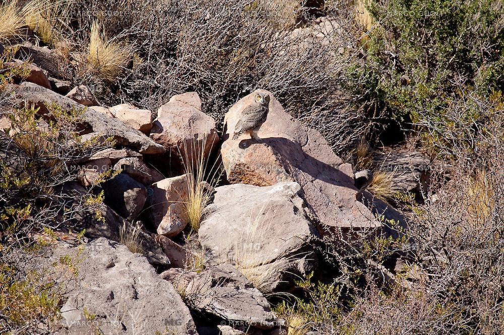 NACURUTU (Bubo virginianus), MALARGUE, PROVINCIA DE MENDOZA, ARGENTINA