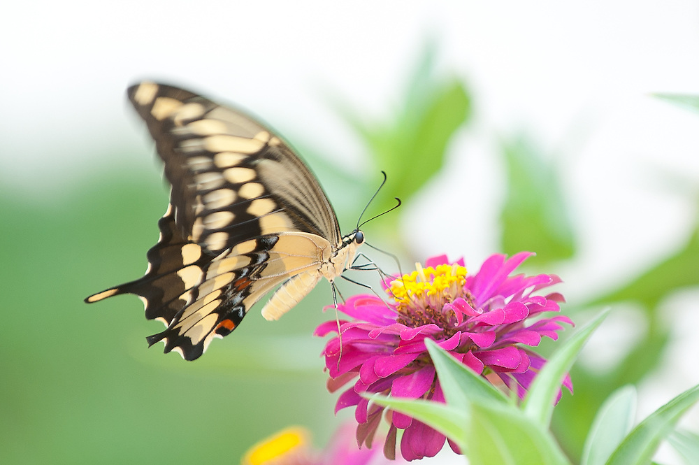 A Giant Swallowtail rests upon a zinnia flower.  ( photo by Mark Matson )
