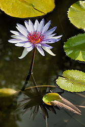 Water Lily, Purple #19