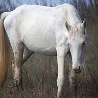 USA, Georgia, Cumberland Island. White Feral horse roams the marshes of Cumberland Island.