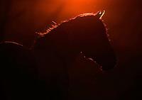 Konik horse at sunset. Oostvaardersplassen, Netherlands. Mission: Oostervaardersplassen, Netherlands, June 2009.