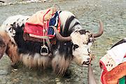 China Yunnan province Lijiang, A herd of Tibetan yaks crossing a river on the foot of the Yulong (Jade Dragon) mountain