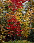 Autumn colors of sugar maples near the shore of Kabetogama Lake, Voyageurs National Park, Minnesota.