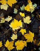 Autumn leaves of Douglas Maple, Acer glabrum var. Douglasii, littering rocky stream bed, Mount Robson Provincial Park, British Columbia, Canada.