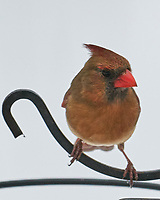 Northern Cardinal (Cardinalis cardinalis). Image taken with a Leica SL2 camera and Sigma 100-400 mm lens.