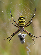 Wasp Spider (Argiope bruenniche) on web with prey wrapped in silk, Kent, UK, Stacked Focus Image