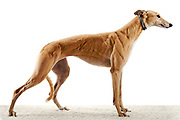 Lucy, a recently retired racing greyhound that was surrendered to God's Grey's