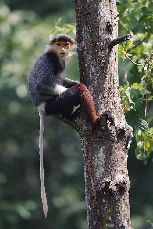 Red-shanked Douc Monkey (Langur)<br />Pygathrix nemaeus<br />Tropical Forests of CAMBODIA, LAOS & VIETNAM<br />ENDANGERED   CITES 1  (Pet trade)