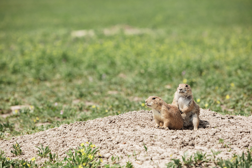 two prairie dogs at the Badlands National Park in South Dakota