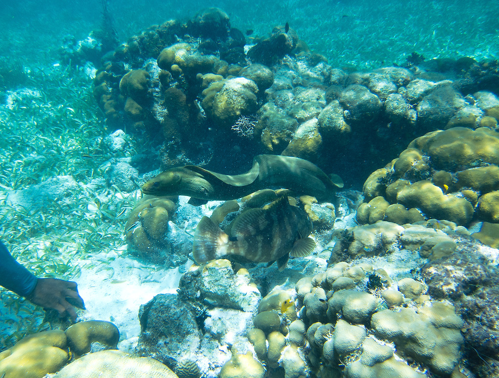 Hol Chan, Belize 8/31/2012.Moray Eel at the Hol Chan Marine Reserve..Alex Jones / www.alexjonesphoto.com