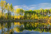 Aspens reflected in pond in autumn<br /> Fox Creek<br /> Alberta<br /> Canada