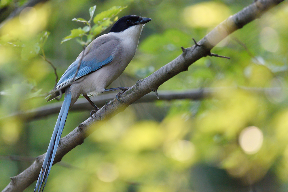 Azure-winged Magpie, Cyanopica cyanus, sitting on a branch in East Lake Greenway park, Wuhan, Hubei, China