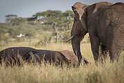 Nature photograph of an African elephant (Loxodonta africana) mourning a dead elephant, Serengeti National Park, Tanzania