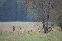 Great grey owl (Strix nebulosa) perched on fenceline, Bergslagen, Sweden.