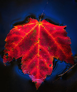 A luminous red leaf floating on blue water in the fall.