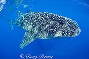 Deron Verbeck with whale shark, Rhincodon typus, Kona Coast, Hawaii Island ( the Big Island ), Hawaiian Islands ( Central Pacific Ocean )