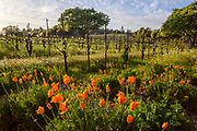Spring time vineyards at Square Peg Winery near Occidental, Sonoma County, California