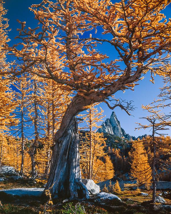 Alpine larch, Prusik Peak, Upper Enchantments, Alpine Lakes Wilderness, Washington, USA