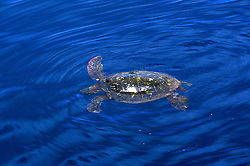 Hawaii: Kauai, giant green sea turtle.  Photo hifree114.Photo copyright Lee Foster, 510/549-2202, lee@fostertravel.com, www.fostertravel.com