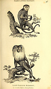 Lion Tailed Baboon from General zoology, or, Systematic natural history Part I, by Shaw, George, 1751-1813; Stephens, James Francis, 1792-1853; Heath, Charles, 1785-1848, engraver; Griffith, Mrs., engraver; Chappelow. Copperplate Printed in London in 1800. Probably the artists never saw a live specimen