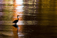 A Great Blue Heron (Ardea herodias) hunts along the seawall of Stanley Park in Vancouver, BC..
