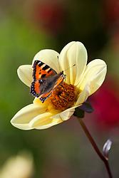 Butterfly on Dahlia 'Summertime'
