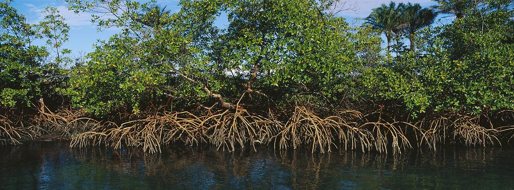 Red Mangrove<br />Rhizophora mangle<br />East coast of BRAZIL.  South America<br />Distribution: Pan Tropical