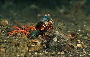Von Zeit zu Zeit entfernt der Bunte Fangschreckenkrebs (Odontodactylus scyllarus) Sand aus seiner Höhle, den er mit den Vorderbeinen vor seiner Höhle abwirft. | Peacock mantis shrimp (Odontodactylus scyllarus)