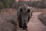 A white rhinoceros, Ceratotherium simum, walking at dusk.