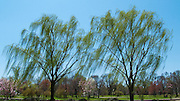 Weeping Willows In The Breeze