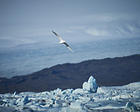 Iceland Gull. Jökulsárlón Glacier and Lagoon. Image taken with a Nikon Df camera and 70-200 mm f/4 lens (ISO 100, 200 mm, f/4, 1/4000 sec)