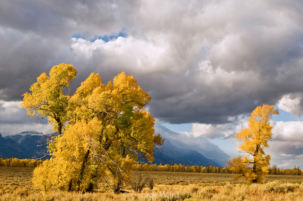 Narrowleaf Cottonwood and Clearing Storm, Grand Teton National Park, Wyoming