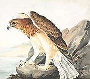 Bonelli's eagle (Aquila fasciata syn Hieraaetus fasciatus). 18th century watercolor painting by Elizabeth Gwillim. Lady Elizabeth Symonds Gwillim (21 April 1763 – 21 December 1807) was an artist married to Sir Henry Gwillim, Puisne Judge at the Madras high court until 1808. Lady Gwillim painted a series of about 200 watercolours of Indian birds. Produced about 20 years before John James Audubon, her work has been acclaimed for its accuracy and natural postures as they were drawn from observations of the birds in life. She also painted fishes and flowers. McGill University Library and Archives