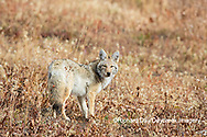 01864-03409 Coyote (Canis latrans) Yellowstone National Park, WY