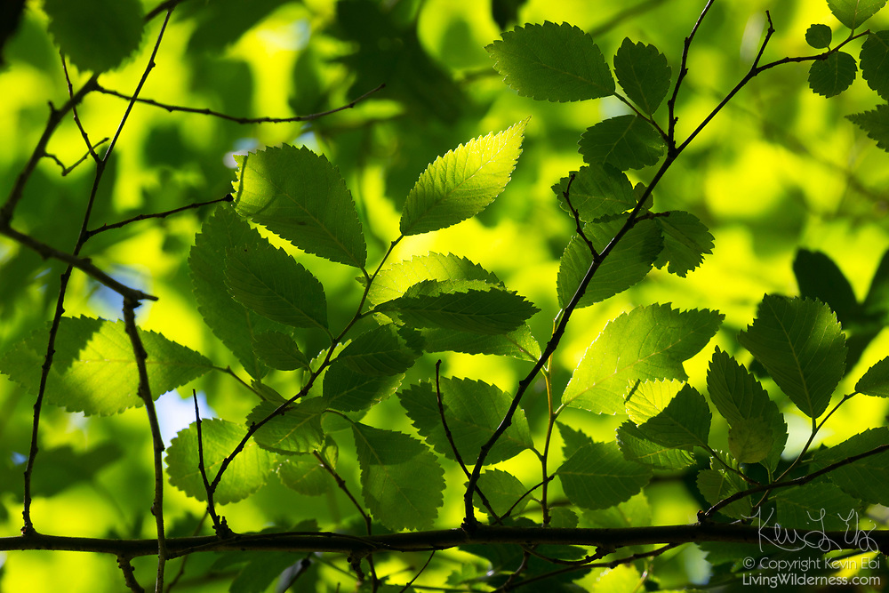 Leaves of a Wych elm (Ulmus glabra) are backlit in the late afternoon sun on a spring day in Snohomish County, Washington.
