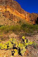 Prickly Pear Cactus, Burro Mesa Pouroff Trail, Chihuahuan Desert,  Big Bend National Park, Texas USA.