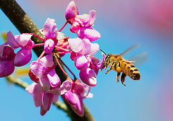 A bee buzzes around a pink blooming tree