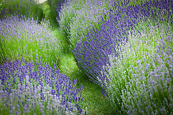 Grass path lined with lavender. Lavandula angustifolia 'Munstead' and Lavandula 'Hidcote Blue' synonym of Lavandula angustifolia 'Hidcote'