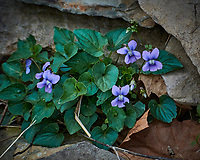 Wild Violet Flowers. Image taken with a Nikon 1 V3 camera and 70-300 mm VR lens.