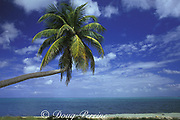 coconut palm tree, Half Moon Caye Natural Monument, Lighthouse Reef Atoll, Belize, Central America ( Caribbean )